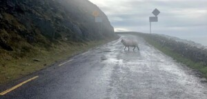 Sheep on road on slea head drive.
