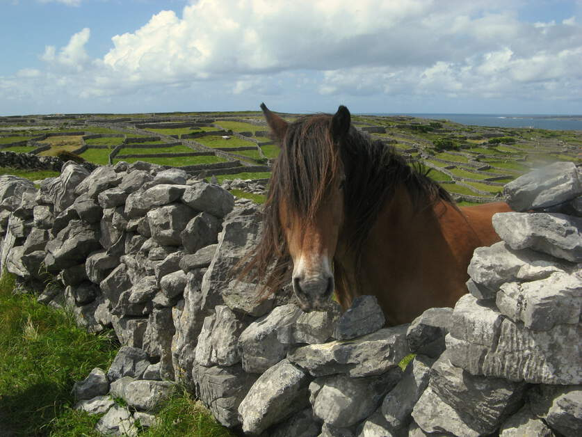 Horse looking over stone wall in County Kerry Ireland